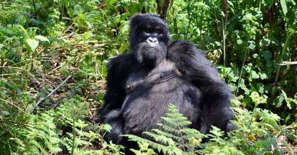 Mountain Gorillas - Kisoro town